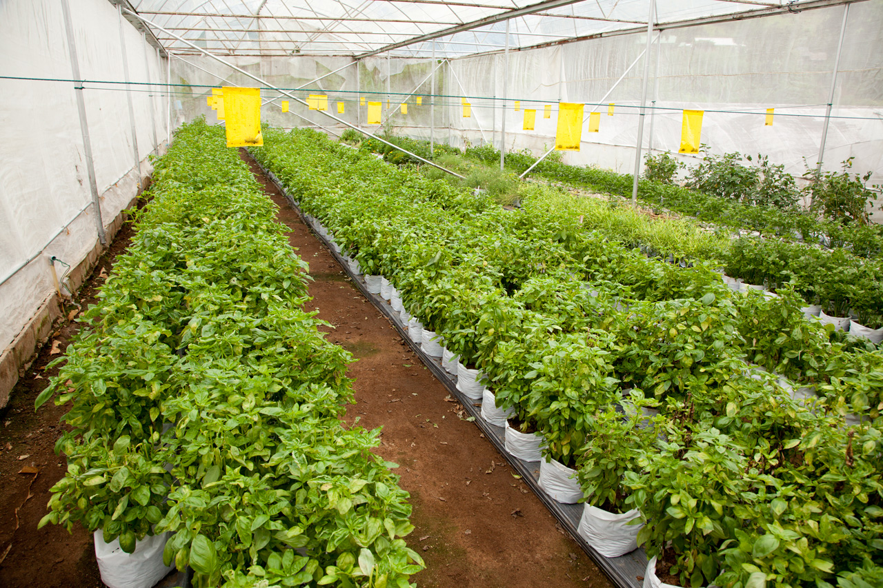 Hydroponics plantation